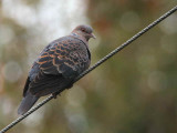 Oriental Turtle Dove, Lingmethang Road, Bhutan