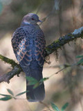 Oriental Turtle Dove, Cheri Valley, Bhutan