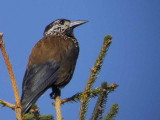 Spotted Nutcracker, Shertang la, Bhutan