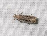 1005   Gelechia sabinellus  253.jpg