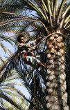 Date Palm Worker