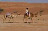 Bedu camels