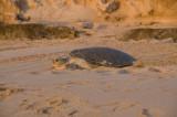 Turtle glowing