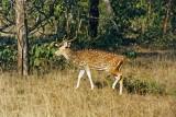 Spotted deer, Kanha