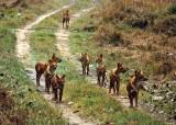 Wild dogs, Kanha