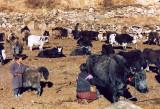 Milking Yaks