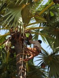 Collecting palm wine