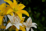 White and yellow day lilies