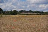 Wheat field with poppy's