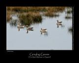 Greylag Geese at the Marsh Rørsøen