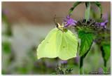 Papillon citron, Gonopteryx rhamni