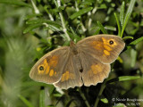 MEADOW BROWN - MANIOLIA JURTINA - MYRTIL