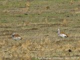 GREAT AND LITTLE BUSTARDS with cattle