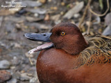 CINNAMON TEAL - ANAS CYANOPTERA - SARCELLE CANNELLE