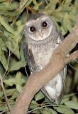 Sooty Owl - Tamborine Mountain Qld