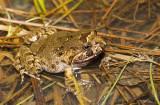 Adelotus brevis male dorsal