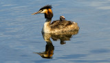 Giant crested grebe, Podiceps cristatus, with young on the back