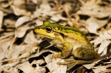 Litoria moorei - John Forest National Park, WA