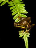Litoria revelata - dark camouflage