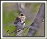 BRUANT CHANTEUR / SONG SPARROW   -  LES CHEVEUX DANS LE VENT /  WIND IN THE HAIR    _MG_2930a