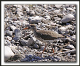 CHEVALIER GRIVELÉ   /   SPOTTED SANDPIPER     _MG_4161a