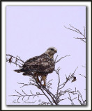 BUSE PATTUE, phase pâle  /   ROUGH-LEGGED HAWK, light phase   _MG_6091 aa