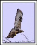 BUSE PATTUE, phase pâle  /   ROUGH-LEGGED HAWK, light phase   _MG_6098 aa