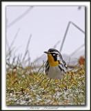 PARULINE À GORGE JAUNE, mâle   /   YELLOW-THROATED WARBLER, male    _MG_6981 aa