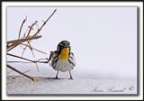 PARULINE À GORGE JAUNE, mâle   /   YELLOW-THROATED WARBLER, male    _MG_6978 aa