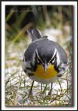 PARULINE À GORGE JAUNE, mâle   /   YELLOW-THROATED WARBLER, male    _MG_6992 aa