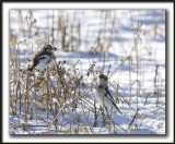 BRUANT DES NEIGES  /  SNOW BUNTING    _MG_7342 a