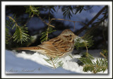 BRUANT CHANTEUR, rare daans la neige  /  SONG SPARROW, rarely in snow    _MG_7413 a