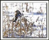 BRUANT DES NEIGES  /  SNOW BUNTING      _MG_7336 a
