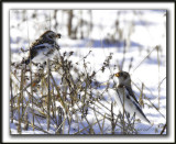 BRUANT DES NEIGES  /  SNOW BUNTING      _MG_7341 a
