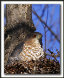 ÉPERVIER BRUN   /   SHARP-SHINNED HAWK