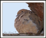 TOURTERELLE TRISTE  -  MOURNING DOVE      _MG_6842 a