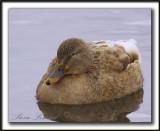 COLVERT LEUCIQUE, femelle   /   MALLARD LOUCOUS DUCK, female