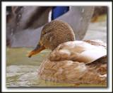 COLVERT LEUCIQUE, femelle   /   MALLARD LOUCOUS DUCK, female   _MG_7058 a