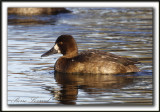 FULIGULE MILOUINAN   /  GREATER SCAUP    _MG_0502 a