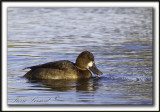 FULIGULE MILOUINAN   /  GREATER SCAUP    _MG_0507 a