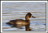 FULIGULE MILOUINAN   /  GREATER SCAUP    _MG_0509 a