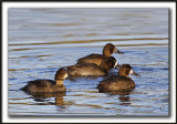 FULIGULE MILOUINAN   /  GREATER SCAUP    _MG_0513 a