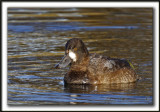 FULIGULE MILOUINAN   /  GREATER SCAUP    _MG_0520 a