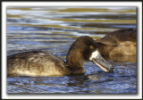 FULIGULE MILOUINAN   /  GREATER SCAUP    _MG_0527 a