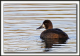 FULIGULE MILOUINAN   /  GREATER SCAUP    _MG_0555 ab