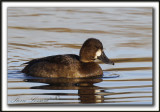 FULIGULE MILOUINAN   /  GREATER SCAUP    _MG_0569 a