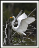 GRANDE AIGRETTE  /  GREAT EGRET    _MG_1866 a