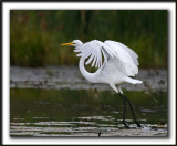 GRANDE AIGRETTE  /  GREAT EGRET    _MG_2085 a