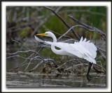 GRANDE AIGRETTE  /  GREAT EGRET    _MG_2091 a