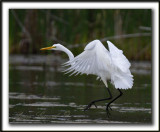 GRANDE AIGRETTE  /  GREAT EGRET    _MG_2096 a